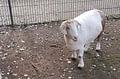 Ziege Schneewittchen im Tierpark Hattersheim